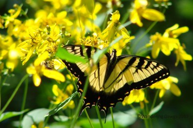 Swallowtail and Wildflowers