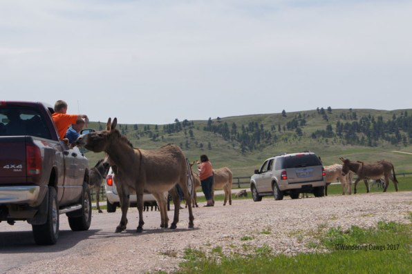 Wild burro's on the Wildlife Look Drive are not shy