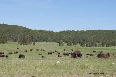 Huge bison herd on Wildlife Loop Drive