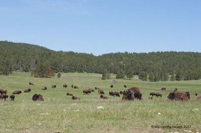 Huge bison herd on Wildlife Loop Drive