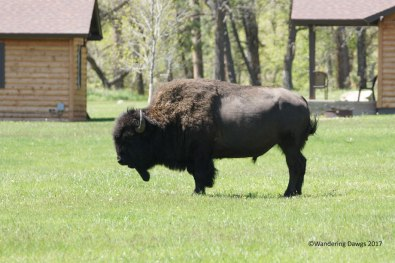 This buffalo was hanging out by the lodge