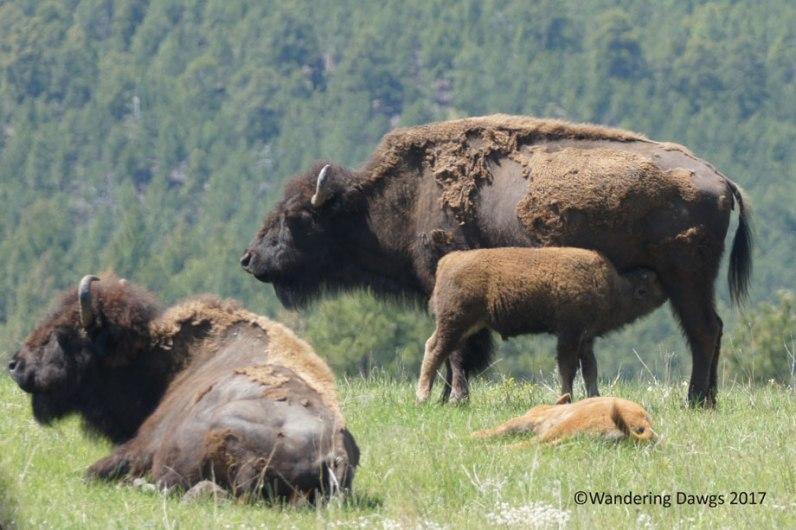 Bison on Wildlife Loop Drive