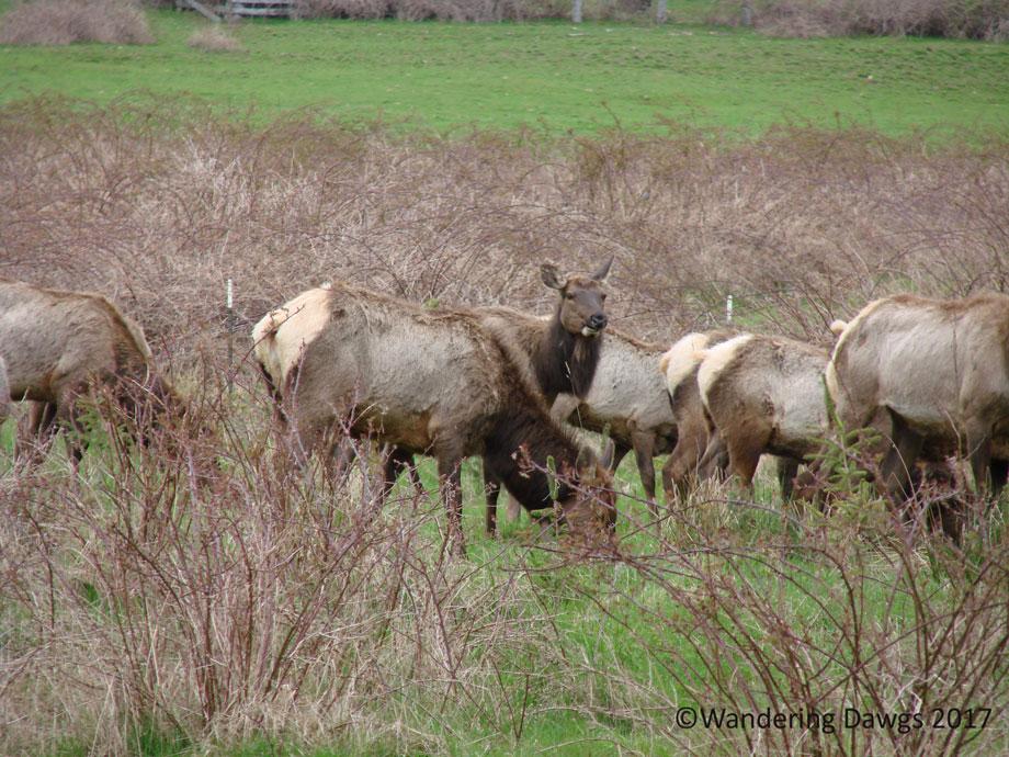 20070421Roosevelt-Elk-(1)