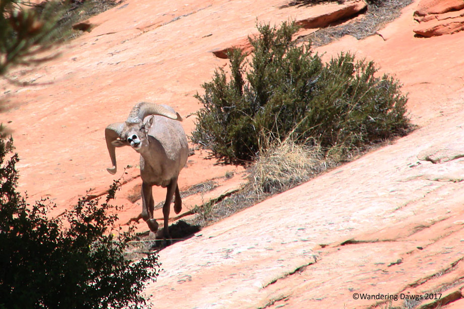 20070530Zion-(78)Big-Horn-Sheep