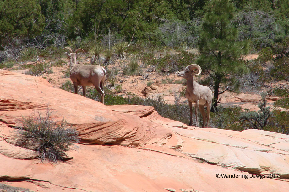 20070530Zion-(87)Big-Horn-Sheep