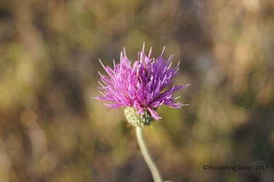 Bull Thistle, Copper Breaks State Park