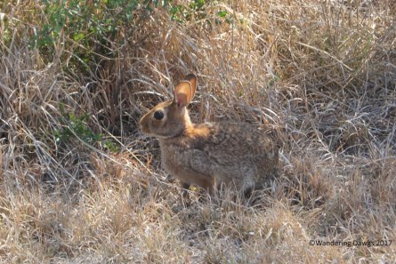 Mountain Cottontail, Copper Breaks State Park