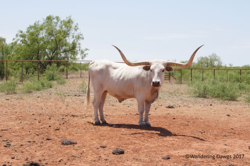 One of the official Texas Longhorn herd, at Copper Breaks State Park