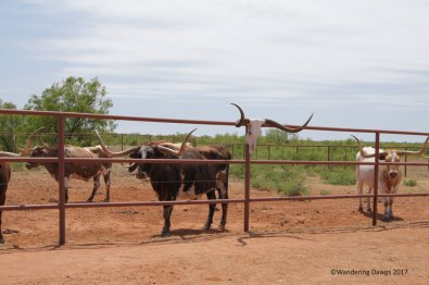 Part of the official Texas Longhorn herd at Copper Breaks State Park