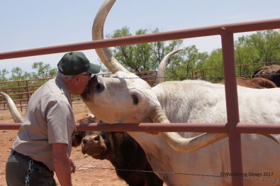 Longhorn kiss at Copper Breaks State Park