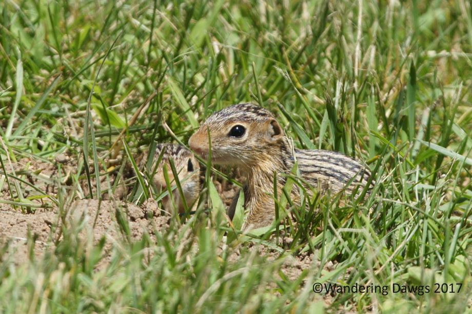 20100619Ground-Squirrels-(10)