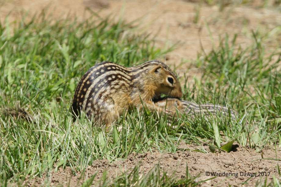 20100619Ground-Squirrels-(3)