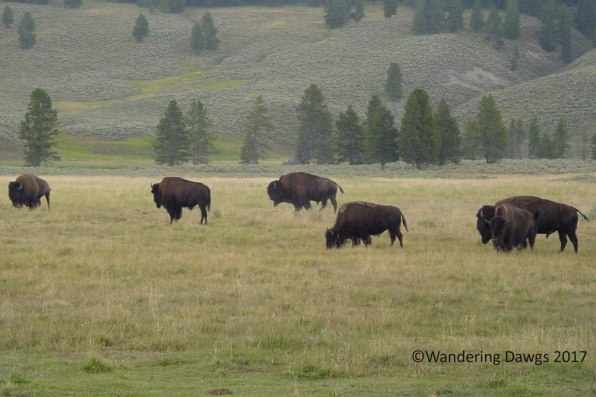 Bison along Yellowstone Lower Loop Road