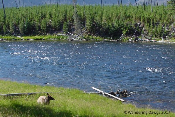 Elk beside a river on the Yellowstone Upper Loop