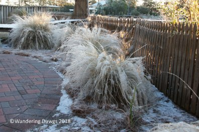 Icy Muhly Grass