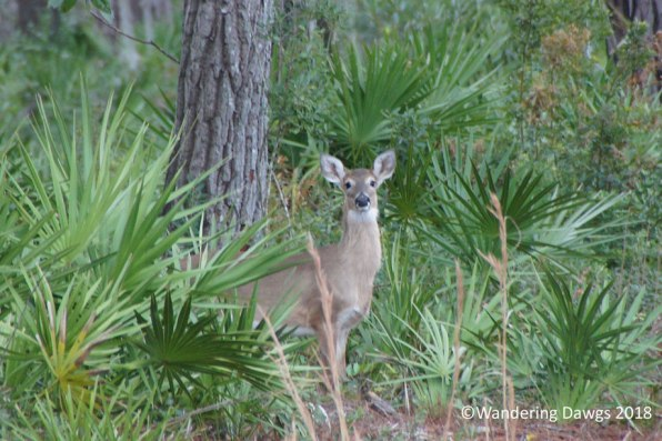 White Tailed Deer n the Okefenokee