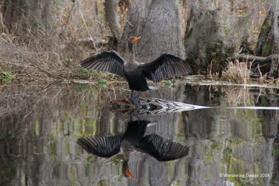 Cormorant in the Okefenokee