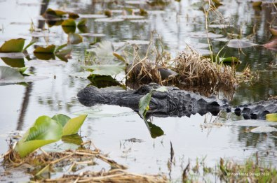 Alligator in the Okefenokee