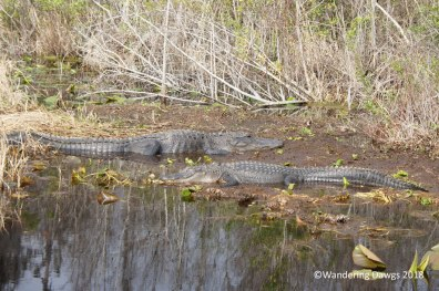 Alligators enjoying some warm weather