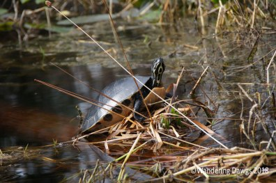 Turtle in the swamp