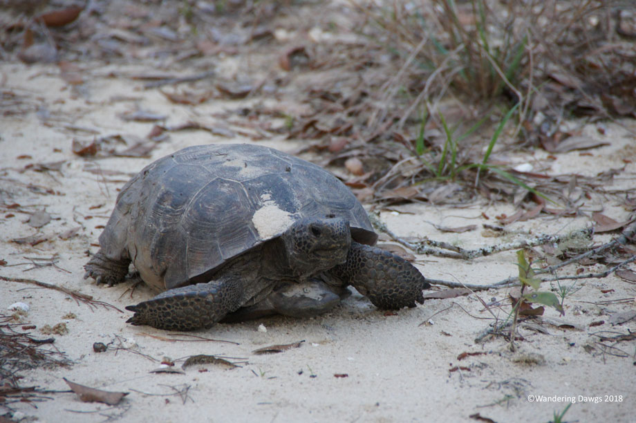 20180220Gopher-Tortoise-Silver-Springs-(16)