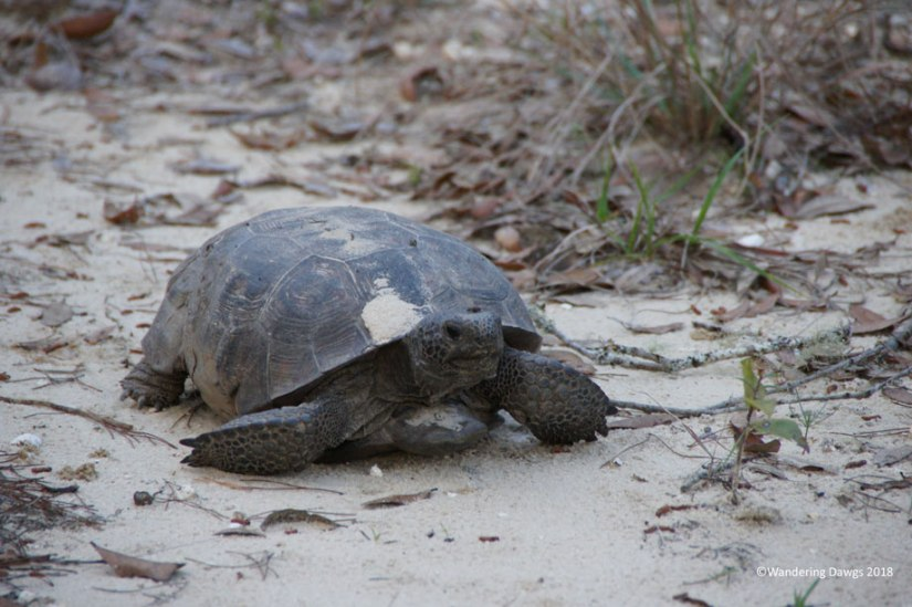 Gopher Tortoise by our campsite at Silver Springs State Park