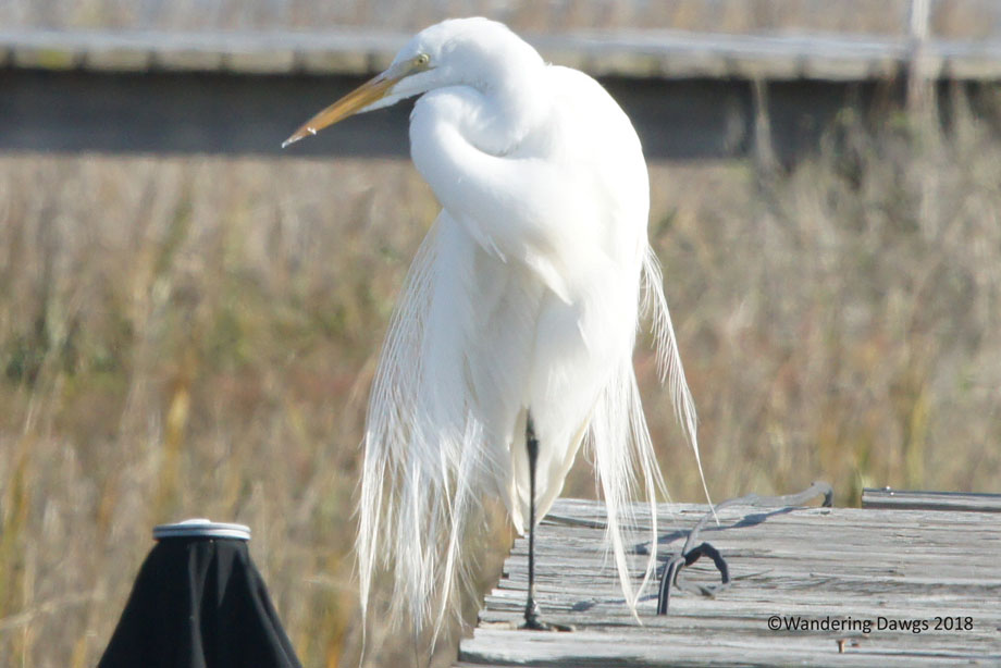 20160125Great-Egret-Plumage