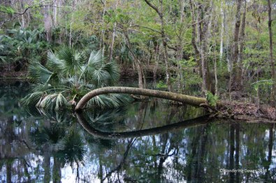 An unusual looking palm tree in the Silver River