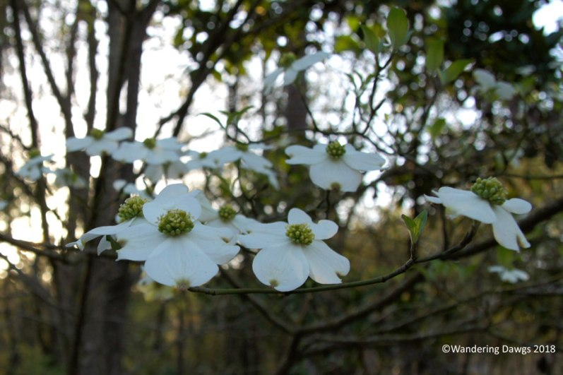 Dogwoods blooming at Stephen Foster Folk Culture Center