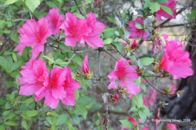 Azaleas blooming in White Springs