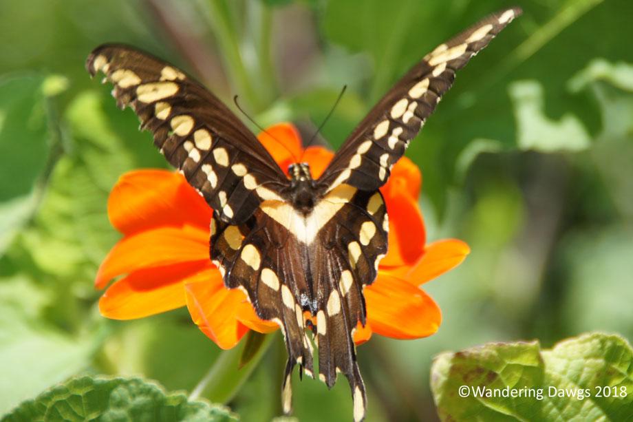 20180717Swallowtail-(23)