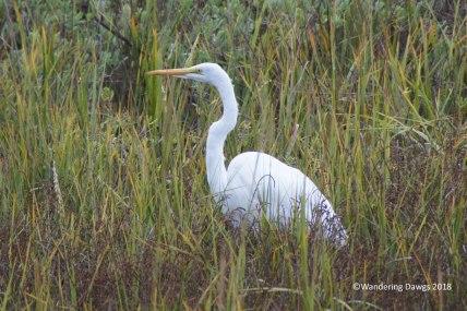 Fall brings wading birds to the Georgia salt marsh