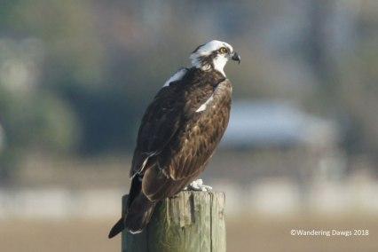 Osprey looks over the salt marsh