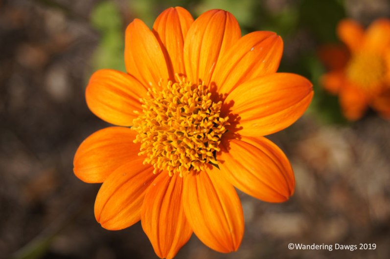 Mexican Sunflower in December