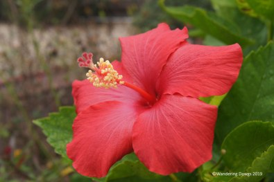 Hibiscus in December