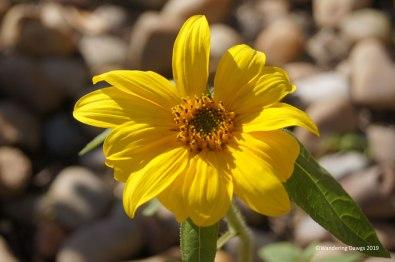 Sunflower under bird feeder in January