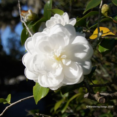 Camellia at Bonaventure Cemetery in Savannah, GA