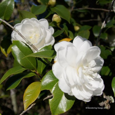 Camellias in Bonaventure Cemetery in Savannah, GA
