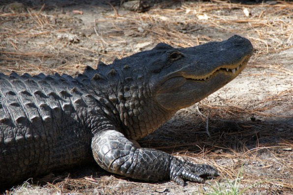American Alligators at Okefenokee Swamp Park