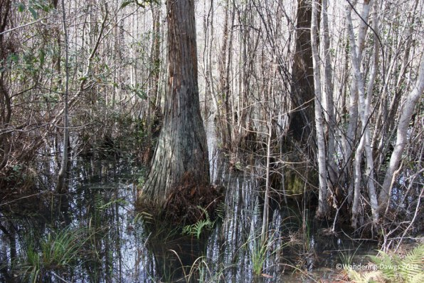 Cypress trees in the Okefenokee Swamp Park, Waycross, GA