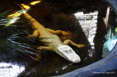 Albino alligator from Louisiana