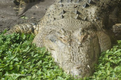 Maximo, a saltwater crocodile, is largest animal at the St. Augustine Alligator Farm