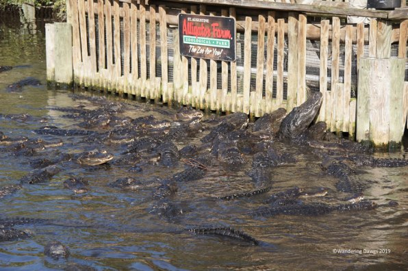 Feeding frenzy at the St. Augustine Alligator Farm