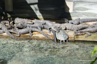Baby alligators and turtles at the Saint Augustine Alligator Farm