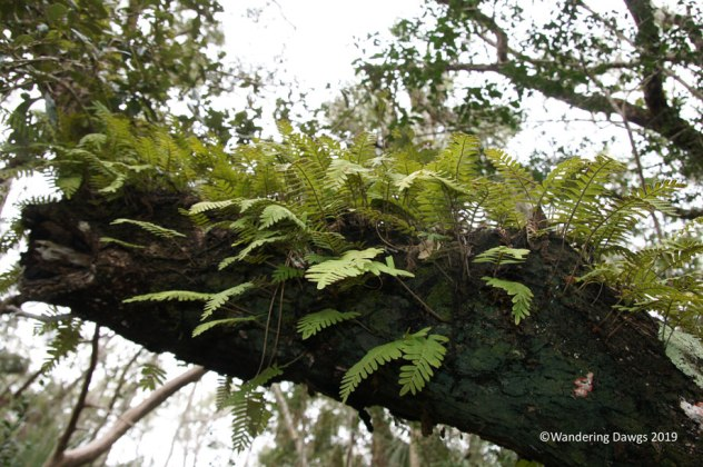Resurrection Ferns on old oak tree