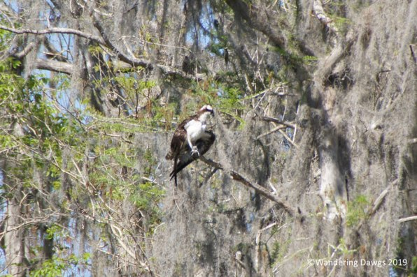 Osprey beside the Silver River