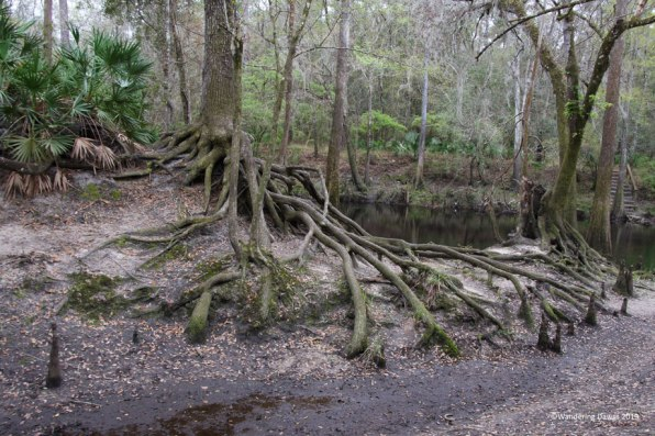 Love these tree roots on the banks of the Santa Fe River