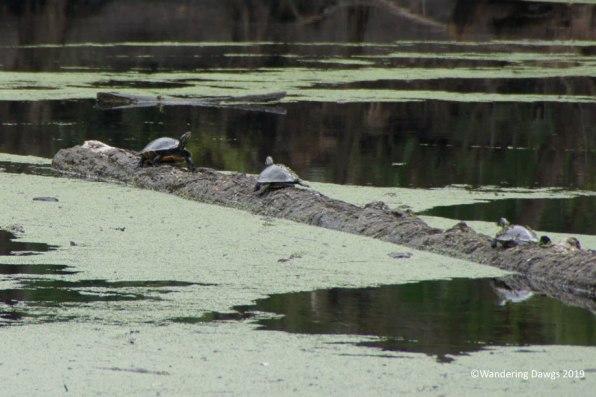 Turtles in the Santa Fe River Sink, O'Leno State Park, FL