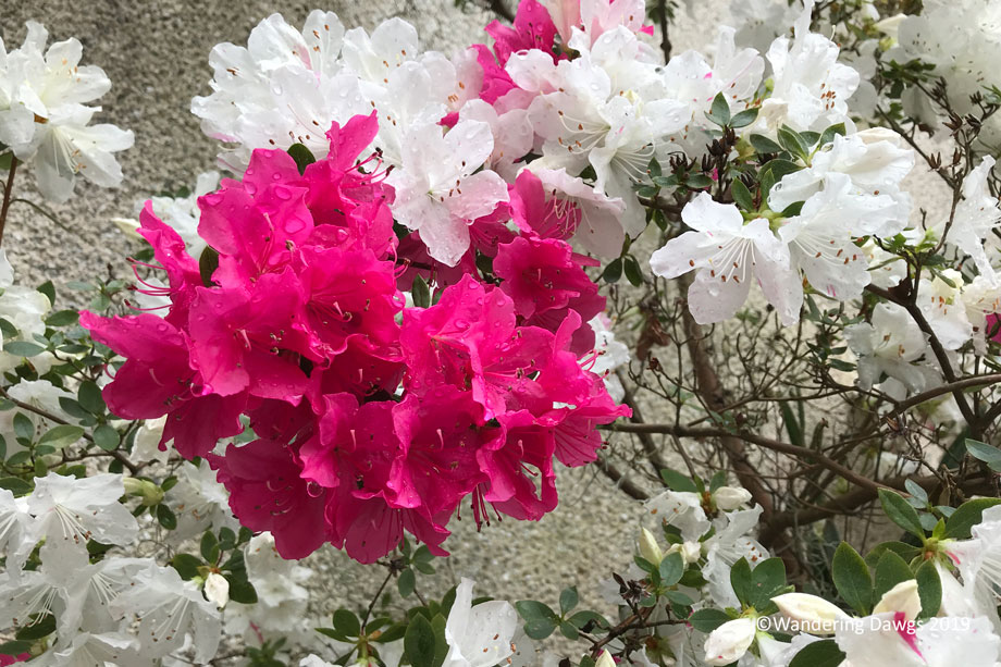 Pink and white on the same azalea