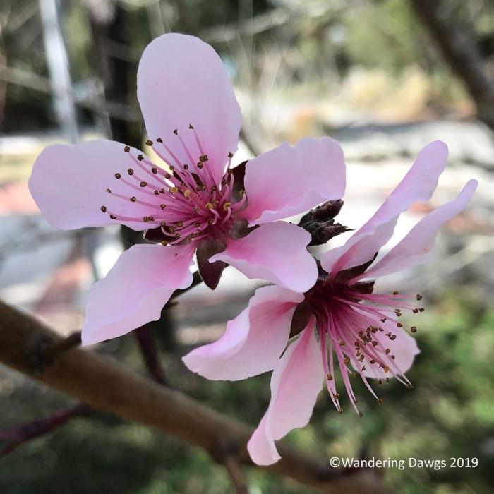 Spring Georgia Peach Blossoms